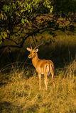 Male impala antelope. Aepyceros melampus with typical long, slender horns standing in the bush. Moremi game reserve, Botswana, Africa Stock Images