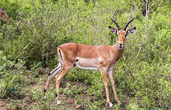 Male Impala Antelope in South African Bush. Single mature male impala in south african bushveld Royalty Free Stock Image