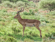 Male Impala. A male Impala antelope in Southern African savanna Stock Image