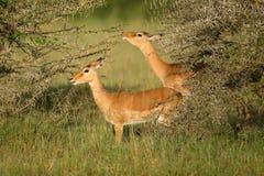 Male impala antelope Tragelaphus strepsiceros in natural habitat, Etosha National Park, Namibia. A a rare roan antelope Hippotragus equinus, South Africa Wild Royalty Free Stock Image