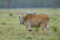 Male impala antelope Tragelaphus strepsiceros in natural habitat, Etosha National Park, Namibia. A a rare roan antelope Hippotragus equinus, South Africa Wild Stock Images