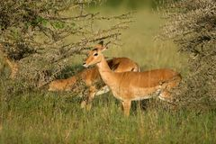 Male impala antelope Tragelaphus strepsiceros in natural habitat, Etosha National Park, Namibia. A a rare roan antelope Hippotragus equinus, South Africa Wild Royalty Free Stock Photo