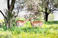 Male Impala antelope Royalty Free Stock Photography