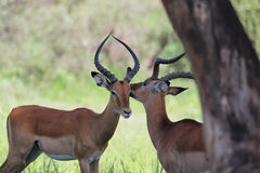 Male Impala antelope Royalty Free Stock Images