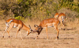 Male Impala Antelopes fighting Stock Photo