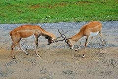 Male impala antelopes are fighting Royalty Free Stock Photos