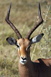 Male Impala - Botswana. A male Impala in the Savuti area of Botswana Stock Photo