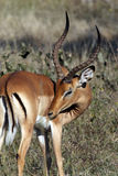Male Impala - Botswana. Young male Impala (Aepyceros melampus melampus) in Chobe National Park in Botswana Royalty Free Stock Photo
