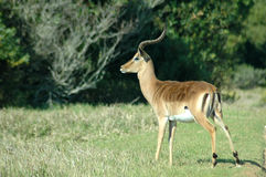 Male impala in countryside Royalty Free Stock Images