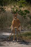 Male impala crouching to go to toilet Stock Images