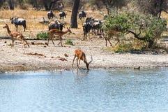 Male Impala Drinking Stock Images