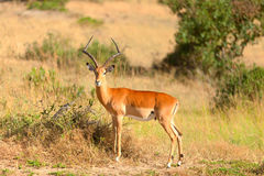 Male Impala Royalty Free Stock Photo