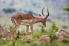 Male Impala Stock Image