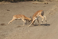 Male Impala fighting Royalty Free Stock Photo