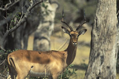 Male of impala gazelle, Botswana. Stock Photography