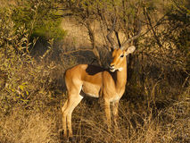 A male Impala Royalty Free Stock Photos