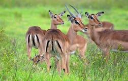 Male Impala and harem Royalty Free Stock Photos