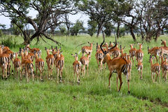 Male Impala Herding His Females Away. Impala ram herding his harem away in Singita Grumeti Reserves, Tanzania stock photography