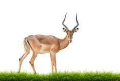 Male impala isolated. Male impala with green grass isolated on white background Royalty Free Stock Photos