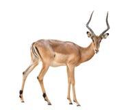Male impala isolated. On white background royalty free stock photo