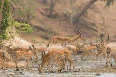 Male Impala jumping across mud Stock Photo