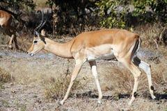 Male Impala. Moremi Game Reserve, Botswana Stock Photography