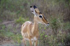 Antelope in Uganda Royalty Free Stock Photo