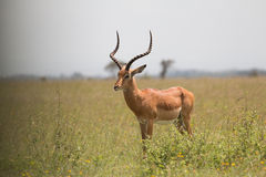 Male Impala Royalty Free Stock Photography