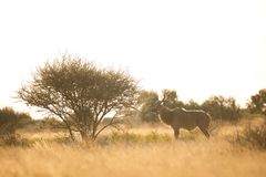 A male impala next to a acacia. Royalty Free Stock Images