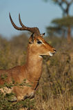 Male impala portrait Stock Photo