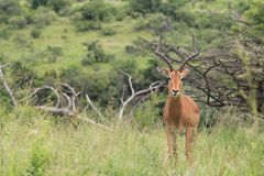 Male impala posing for the camera Stock Images