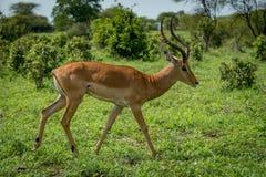 Male impala in profile walking past bushes Stock Photo