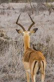 Male impala rear view with an oxpecker on its back Stock Photography