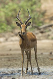 Male Impala with Red-billed Oxpecker Royalty Free Stock Images