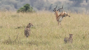 Male impala running away from two stalking Cheetah in high grass. In the Masai Mara National Reserve, Kenya Stock Photo