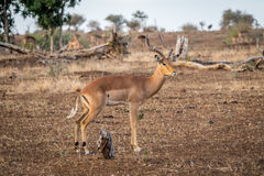 Male Impala from the side. Stock Images