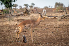 Male Impala from the side. Royalty Free Stock Photo