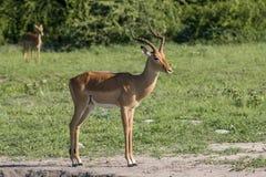 Male Impala standing Stock Image