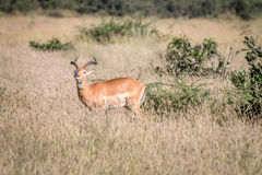 A male Impala standing in the grass. Stock Photography