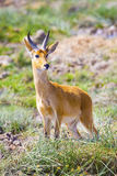 Male impala stands at the savannah of Serengeti in Africa Royalty Free Stock Photography