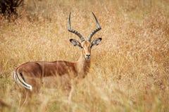 Male Impala starring at the camera. Stock Photos
