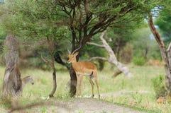 Male Impala in Tarangire. Closeup of Impala scientific name: Aepyceros melampus, or `Swala pala` in Swaheli image taken on Safari located in the Tarangire Royalty Free Stock Images