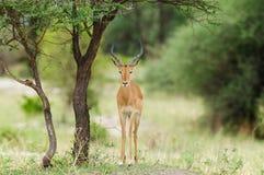 Male Impala in Tarangire. Closeup of Impala scientific name: Aepyceros melampus, or `Swala pala` in Swaheli image taken on Safari located in the Tarangire Stock Photography