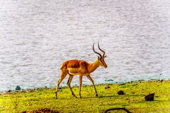 Male Impala at a watering hole in Kruger National Park Royalty Free Stock Images