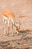 Male impala. Young male impala antelope has come on watering place Royalty Free Stock Photos