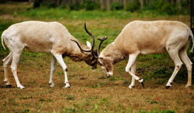 Male Impalas fighting. Two male Impalas fighting with their horns Royalty Free Stock Photo