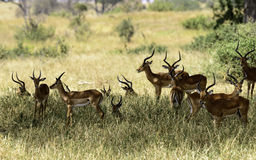 Male Impalas, Tanzania Stock Photography