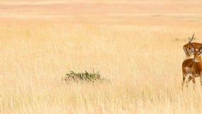 Male Impalas walking stock video