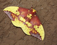 Male Imperial moth Stock Image