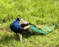 Male India Peacock preening on grass Royalty Free Stock Images